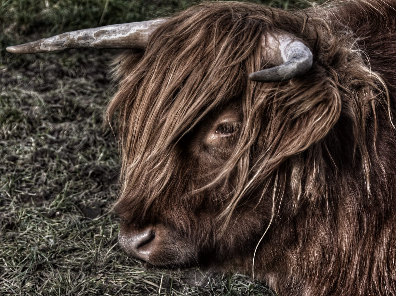 Highland Cow at Laggan, Scotland