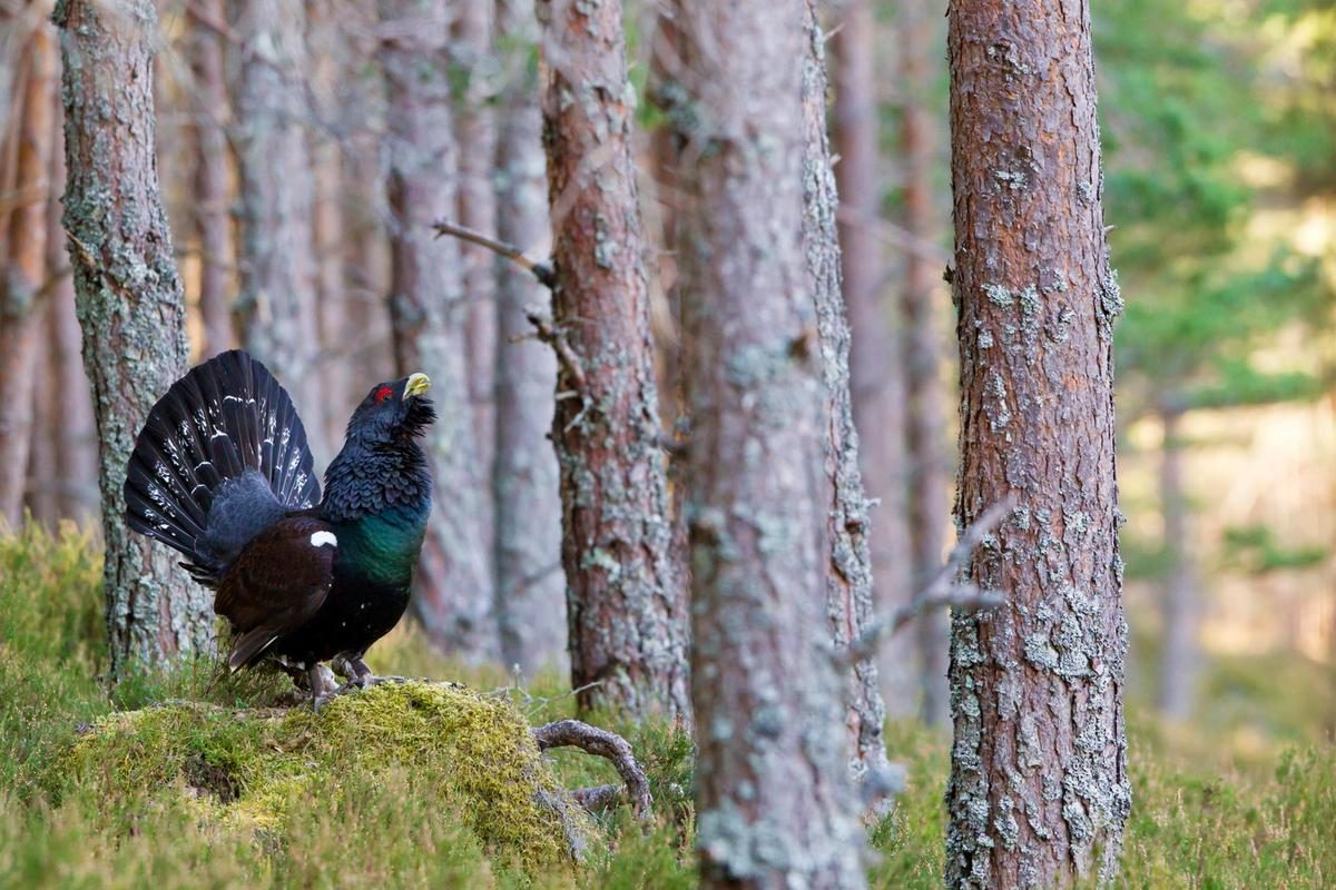 Capercaillie in the wild