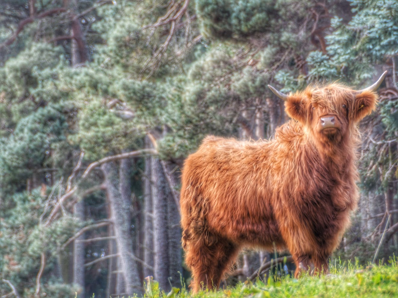 Little Fluffy Highland Cow, Highlands, Scotland