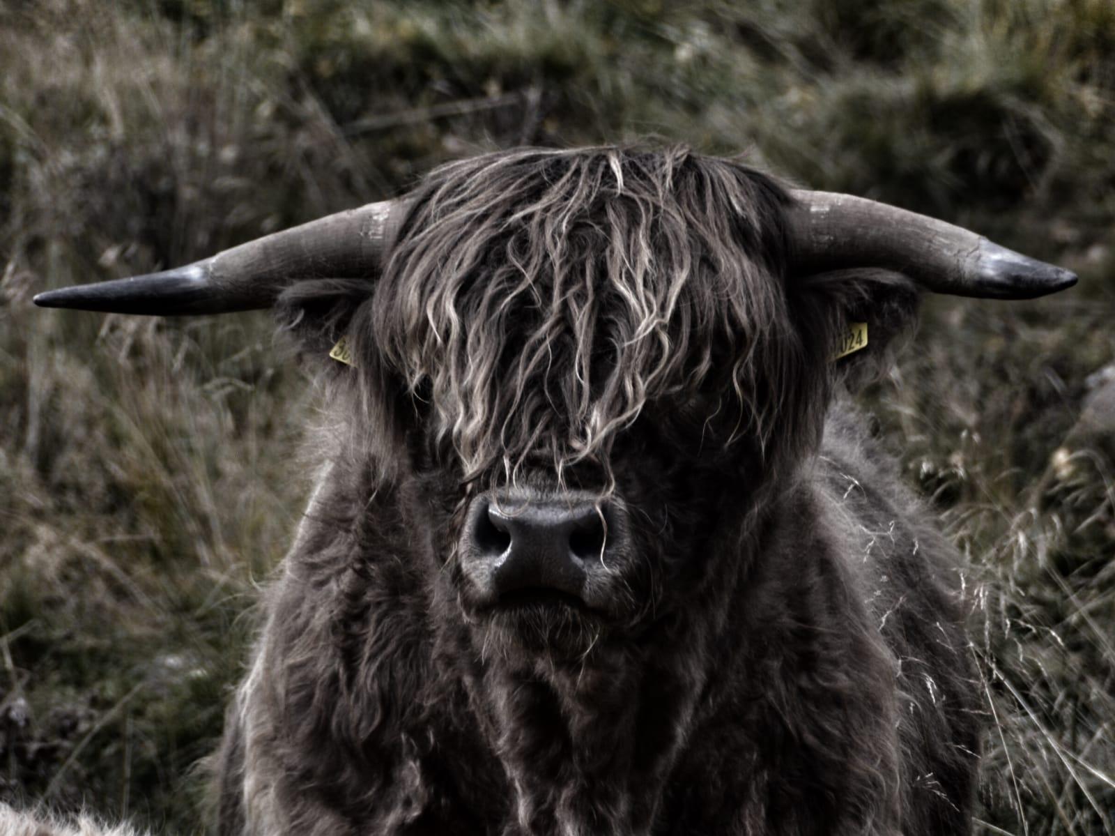 Highland Cow Head On